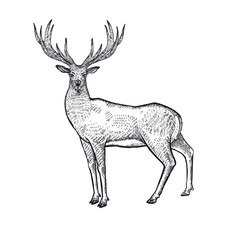 Forest animals deer illustration.