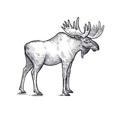 Moose forest animals illustration.
