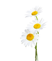 Three flowers of Сhamomiles  ( Ox-Eye Daisy ) isolated on a white background