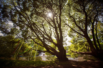 Sunlight Trough Trees