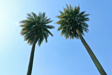Twins palm trees raised high in the clear sky.