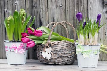 Frühlingserwachen mit Krokusse-Hyazinthen und Tulpen im Weidenkorb rustikal auf Holz