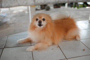Pomeranian dog on the floor. Adorable dog. Focus