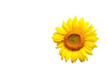 sunflower on white background