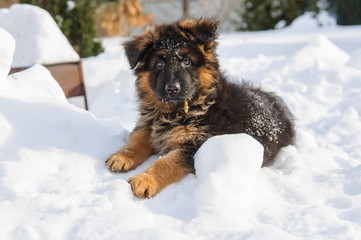 Small and cute german shepherd puppy in snow on sunny winnter day