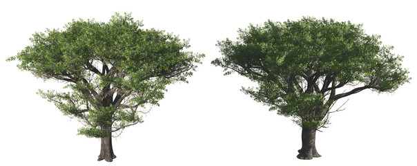 Two green tree isolated on white background, 3 d render