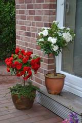 Rosenstämmchen rot und weiß 1