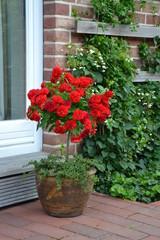 Rosenstämmchen rot 2