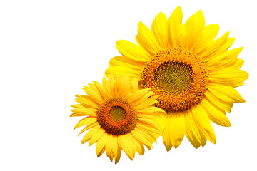 sunflower on white background with clipping path.