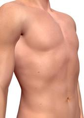 Male Muscle - 3D