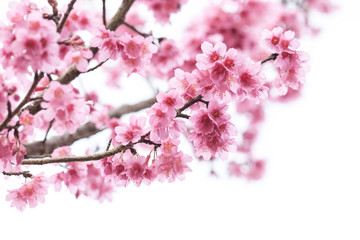 Cherry Blossom or sakura flower on white background