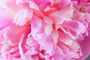 Beautiful peony flower macro