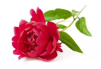 Beautiful peony flowers isolated on white