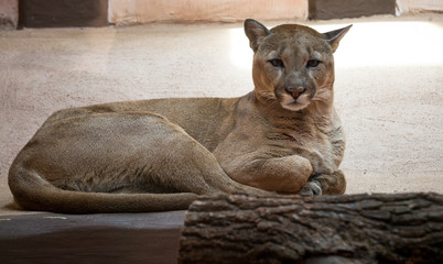Cougar or Puma in zoo