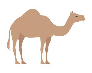 Camel Isolated on White. Even Toed Ungulate