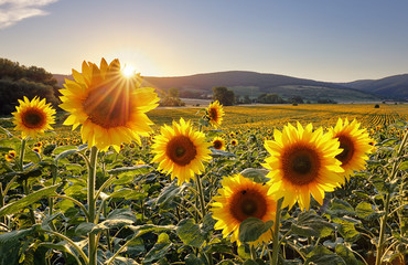Sunset over the field of sunflowers against a cloudy sky. Beautiful summer landscape.