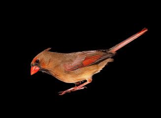 Closeup of a Female Cardinal Isolated on Black