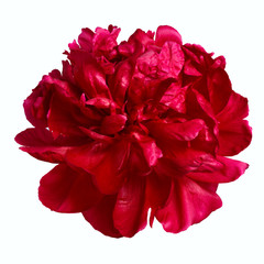 Terry peony flower burgundy color isolated on a white background.