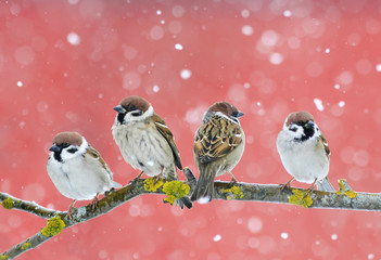 Fototapete - cute birds sparrows sitting on a branch during a snowfall on red background