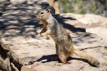 Eichhörnchen im Gran Canyon national park