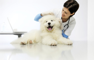 Veterinary checks the ears dog on the table in vet clinic