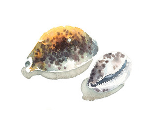 Watercolor Sea Shells Tiger Cowry Cypraea Tigris Hand Painted Nautical Illustration isolated on white background