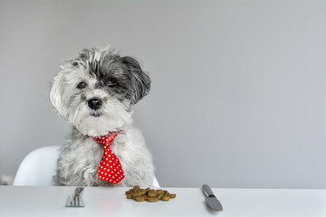 white poodle dog with red tie eating food at table