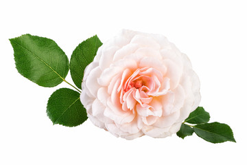Light Pink Rose Cream Rose Flower with Leaves Isolated On White