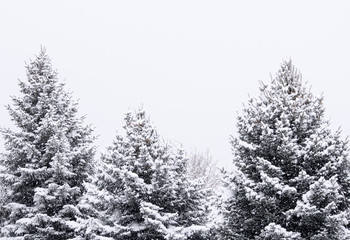Three Snowy Pine Trees in the Cold of Winter