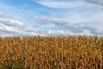 Corn Stalk on a Farm