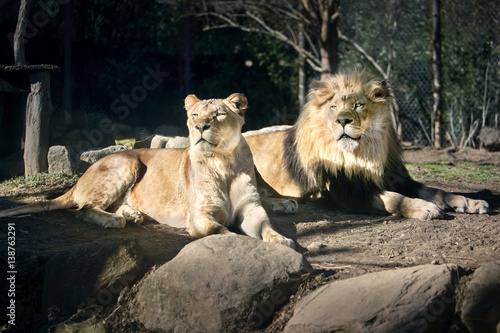 Lion and Lioness laying in the Sun - Sunny Day