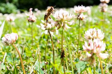 Honey Bee on Clover Flower