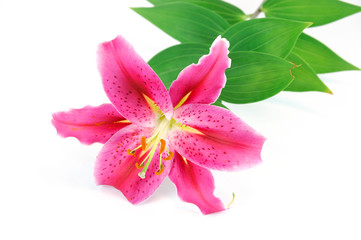 blooming pink lily isolated on white background