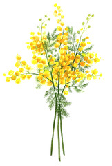Spring yellow mimosa flower (acacia dealbata, silver wattle). Hand-drawn isolated illustration on white background.