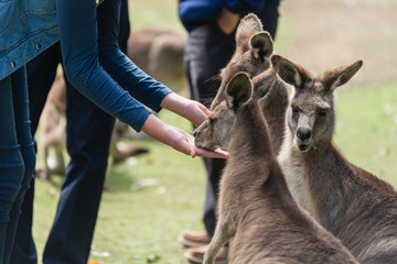 girl feeding kangaroos at a zoo