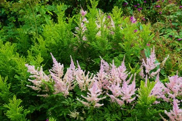 Pale pink flower plumes of astilbe plant