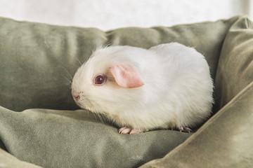 Белая морская свинка.