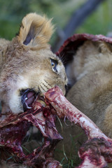 Lion (Panthera leo) cubs feeding on a carcass. Northern Cape. South Africa.