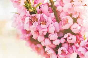 Peach blossom in spring, decorative tree in sunlight