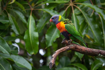 Rainbow Lorikeet Against Green Leaves Horizontal with Copy Space
