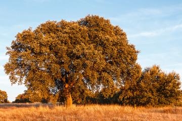 Encinas con la luz del atardecer. Quercus ilex.