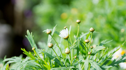 chamomile flower in the garden.