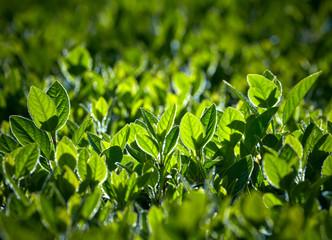 Wall Mural - Fresh green leaves in sunrise lights
