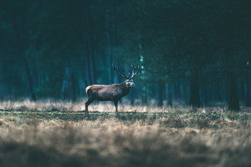 Photo sur Toile Chasse Red deer stag standing alone in forest meadow.