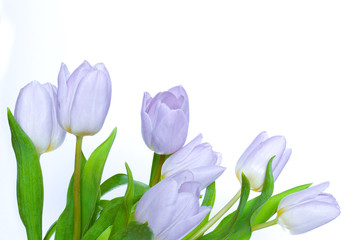 Tulipany na białym tle.