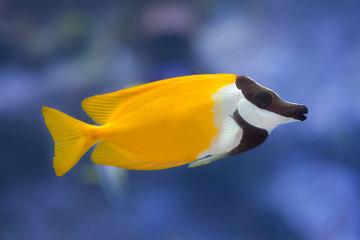 Foxface rabbitfish (Siganus vulpinus).