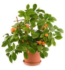 Small tangerines
