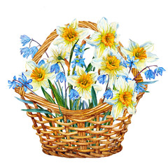 Basket with Scylla and daffodils. Spring bouquet. Watercolor.