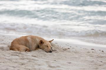 Dog sleeping on the beach