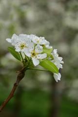 Birnenblüte, Frühling, Ostern